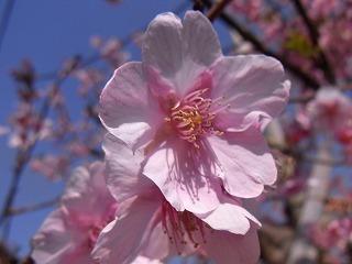 2011,2,26 河津桜 031.jpg