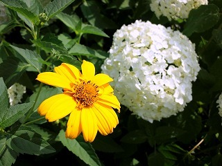 2011.7.5 アジサイ 015.jpg