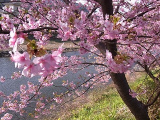 2011,2,26 河津桜 056.jpg