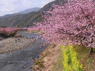 2011,2,26 河津桜 065.jpg