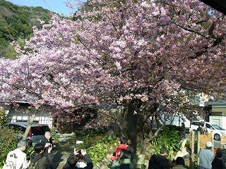 2011,2,26 河津桜 071.jpg